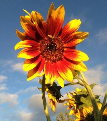 sunflower_autumn