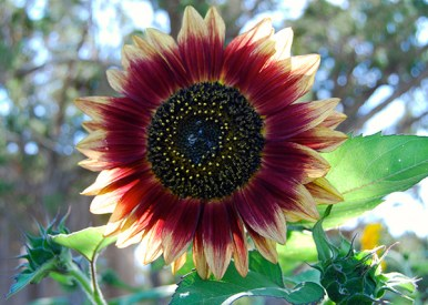 sunflower_reddish