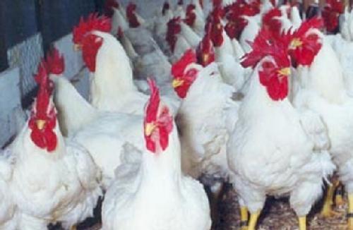 No final da década de 80, por questões de proteção sanitária, foi desenvolvido um projeto para construção de uma nova granja exclusiva para pesquisa e desenvolvimento genético da ave Chester®