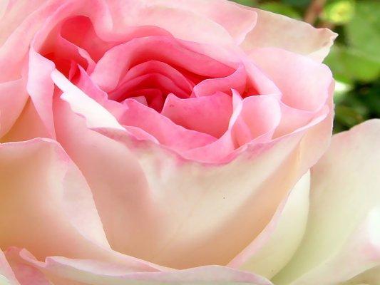 Rosa: O Poder do Amor Incondicional