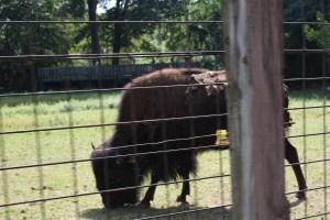 Buffalo at Bergen County Zoo