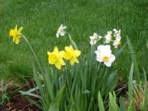 IMG_5791-daffodils