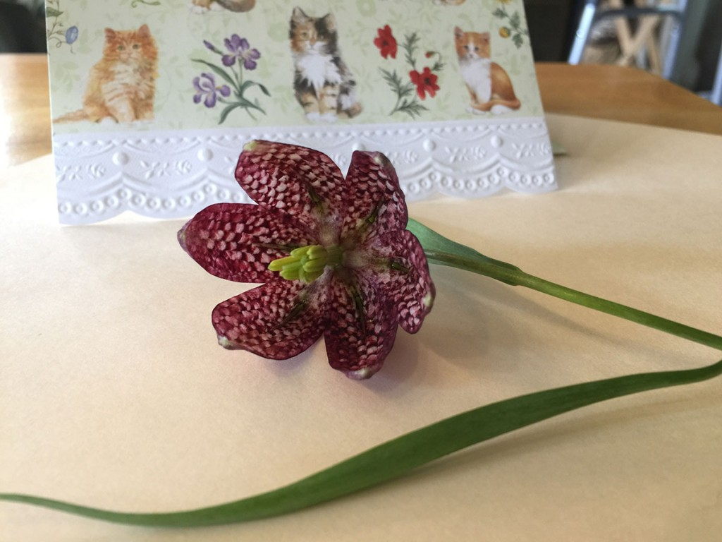 Fritillaria Meleagris flower from Camilla's garden for Bev's 85th birthday