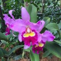 Singapore Botanic Gardens - Orchids - Lavender Frilly