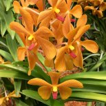 Singapore Botanic Gardens - Orchids - Orange Dotted