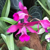 Singapore Botanic Gardens - Orchids - Pink with Horn