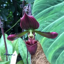 Singapore Botanic Gardens - Orchids - Purple and Green with Stripes and Cup