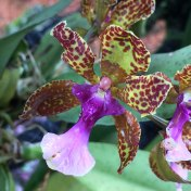 Singapore Botanic Gardens - Orchids - Purple and Green Tiger