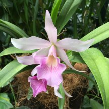 Singapore Botanic Gardens - Orchids - White with Horn