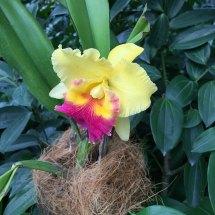 Singapore Botanic Gardens - Orchids - Yellow and Pink Beard