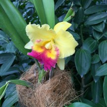 Singapore Botanic Gardens - Orchids - Yellow and Pink Beard
