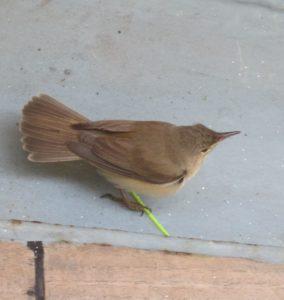 De aangetroffen verstekeling aan boord van de MS Tender. Waarschijnlijk is dit kleine vogeltje een tjiftjaf.