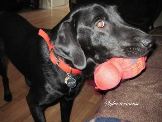 labrador retriever with kong wubba toy