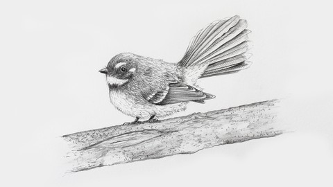 Free Udemy Course on Draw a realistic Fantail using pencil