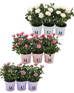 Aldi Mother's Day Flowers - Mum Rose Tin Trio
