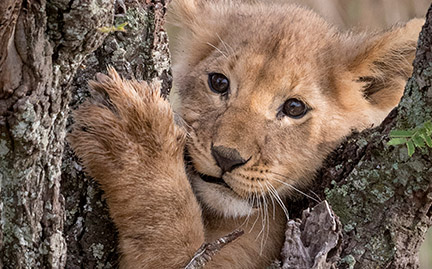 Adopt A Lion Cub Symbolic Animal Adoptions From Wwf