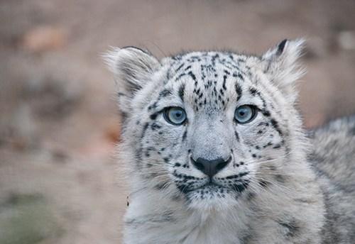 снимка на снежен леопард