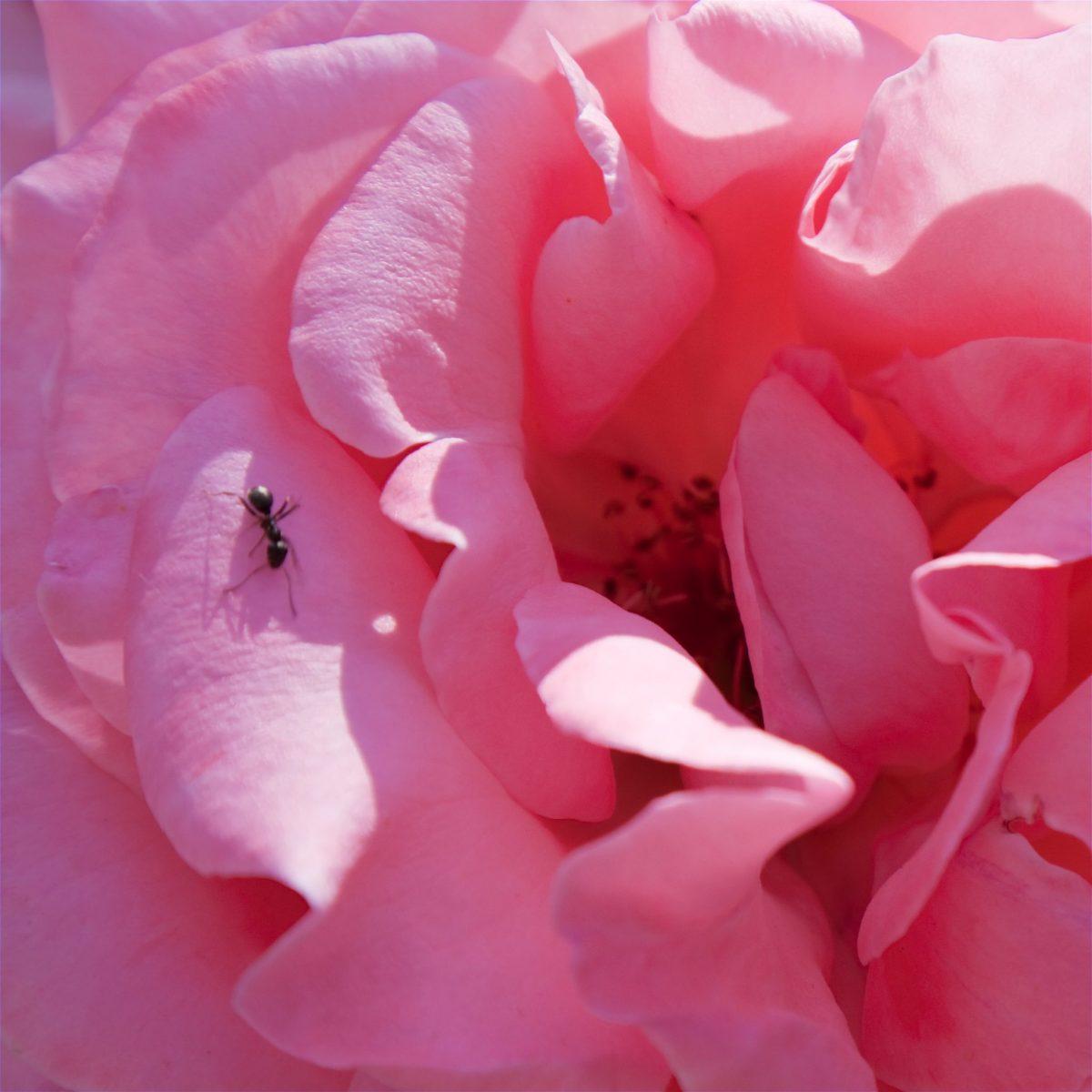 Spanish Pink Rose