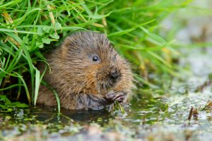 Watervole image courtesy of Peter Trimming