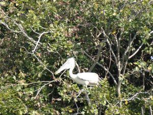 Pelikane nisten hoch oben in den Bäumen...