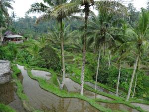 Die Reisfelder...