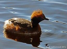 Flera par svarthakedopping finns i Kyrksjön, Bromma. Dessa får man se om man är med på onsdagsvandringen :-)