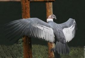J'ai eu l'occasion de voir voler ce magnifique condor des Andes, son envergure fait plus de trois mètre. Lorsqu'il était à côté de moi il m'arrivait presqu'à l'épaule, je vous assure que c'est réellement très impressionnant.