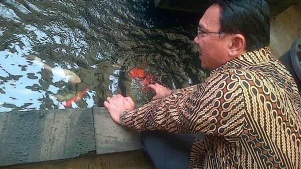 penggemar ikan koi