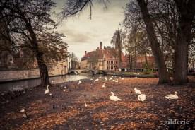 Les cygnes de Bruges en automne