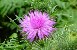 A right royal thistle, Sandringham.