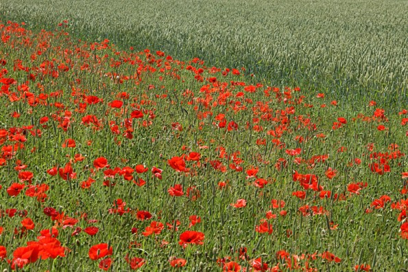 Poppy field abstract