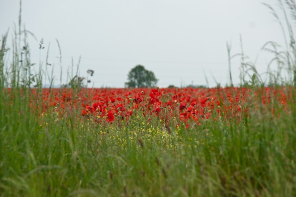 Poppies with tree, Balderton, Notts