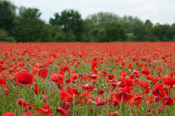 Poppies, Balderton, Notts
