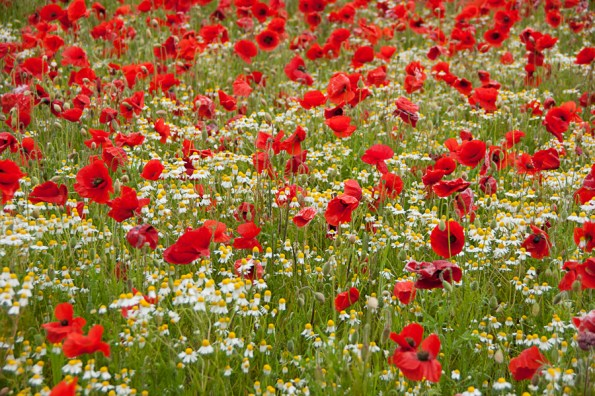 Poppies and white flowers, Balderton, Notts