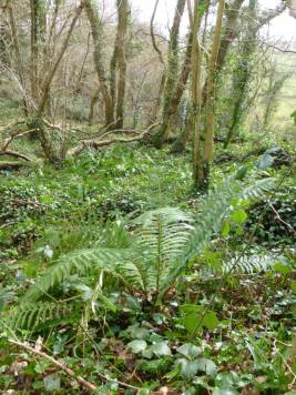 Some of the many ferns of different kinds that thrive on the woodland floor