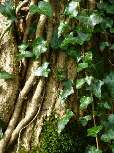 Many of the trees in the wood are covered in ivy. I love the pattern the stems make on the trunks and branches. In my view one of the most underrated of plants.