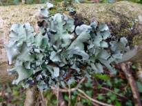 Another lichen in the top branches of the fallen ash, I don't think I've seen one like this before