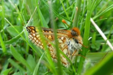 A delightfully fuzzy little butterfly!