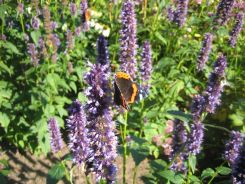 Red admiral butterfly on Agastache 'Blackadder' at Craigside, Northumbria