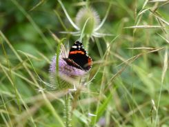Red Admiral on Teasel
