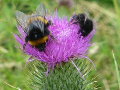 Bees on spear thistle