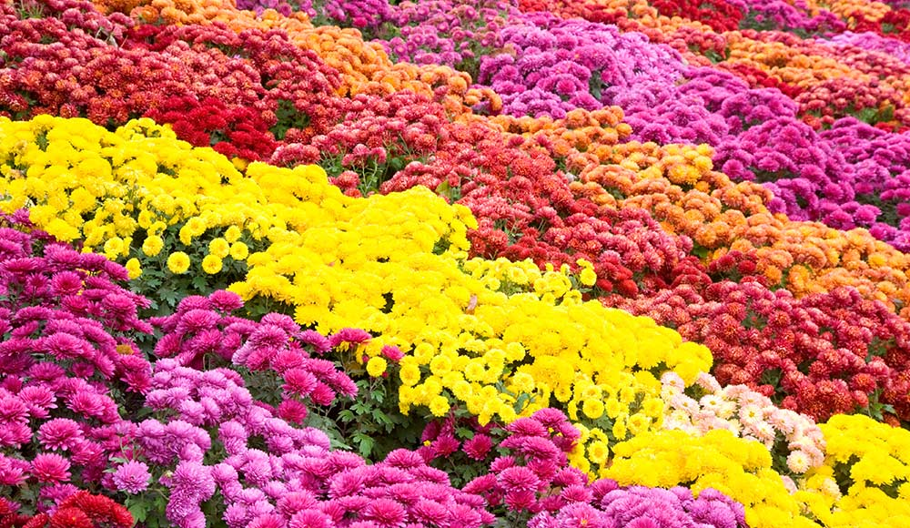Growing Chrysanthemum Learn How To Plant Care For Mums