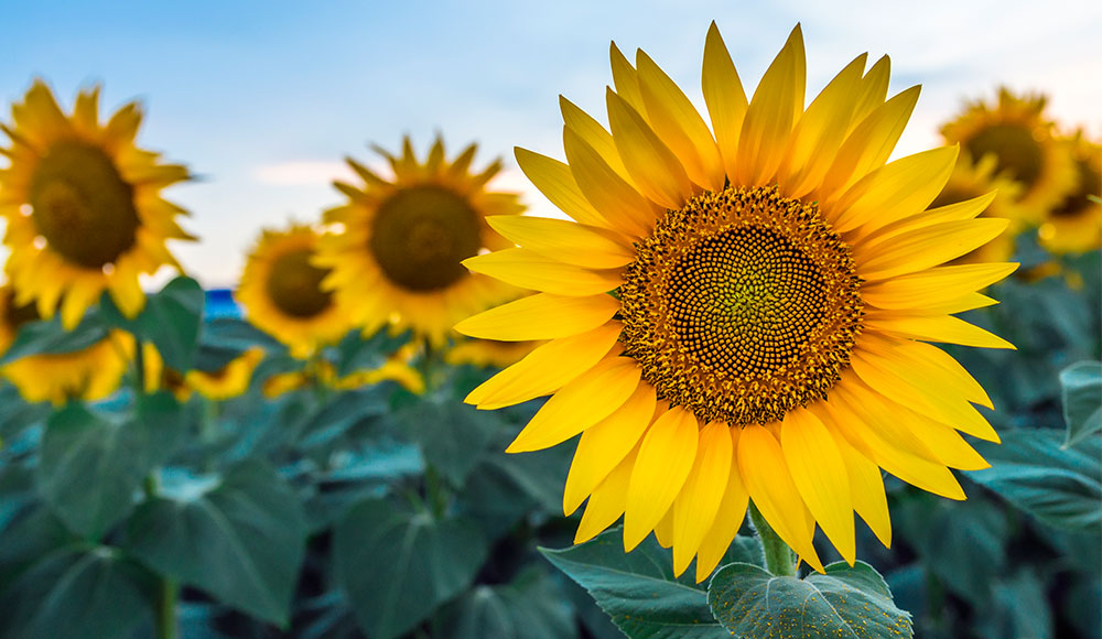 Growing Sunflowers Plant Harvest Sunflowers Gilmour
