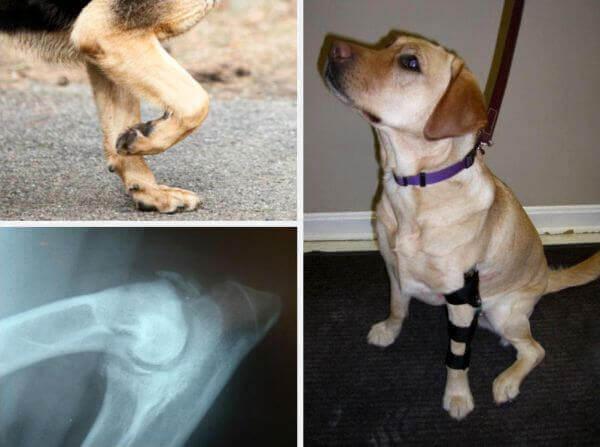 Дисплазия локтевого сустава у собаки.