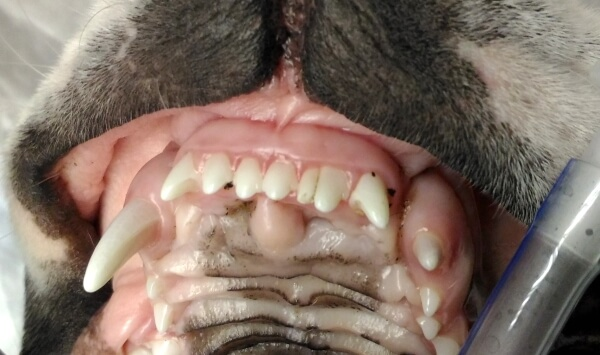 Персистирующий зуб на верхней челюсти у собаки.