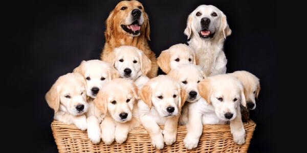 Определение овуляции у собак - залог здорового и многочисленного потомства.