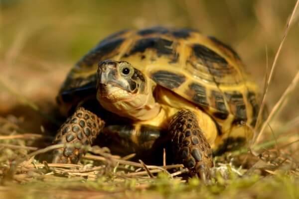 Герпетолог Беломытцева Н. В. рассказывает про содержание среднеазиатских черепах в неволе: особенности, обустройство места содержания, кормление и поение и т.д.