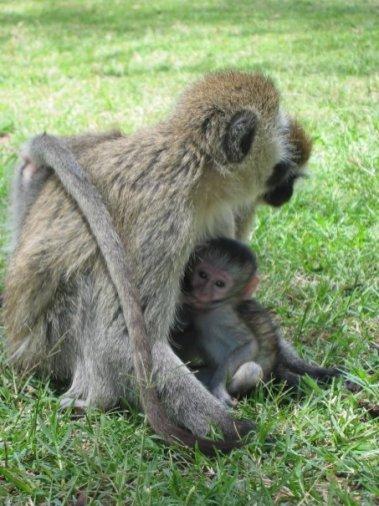 majmuneki