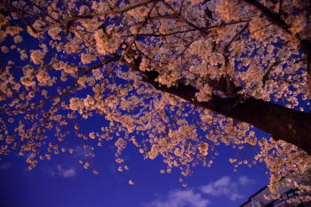 大宮公園で夜のお花見!夜の屋台が終わる時間は?