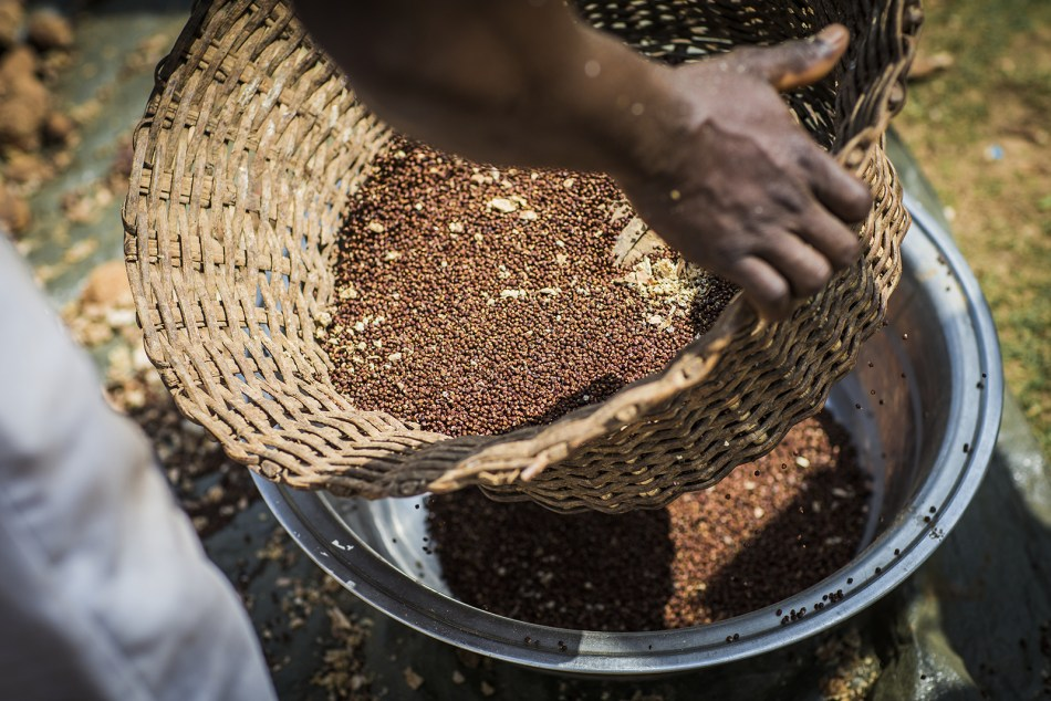 Grains of paradise from Ghana